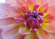 Seattle's Volunteer Park Dahlia Garden//2015 | WildTalesof.com