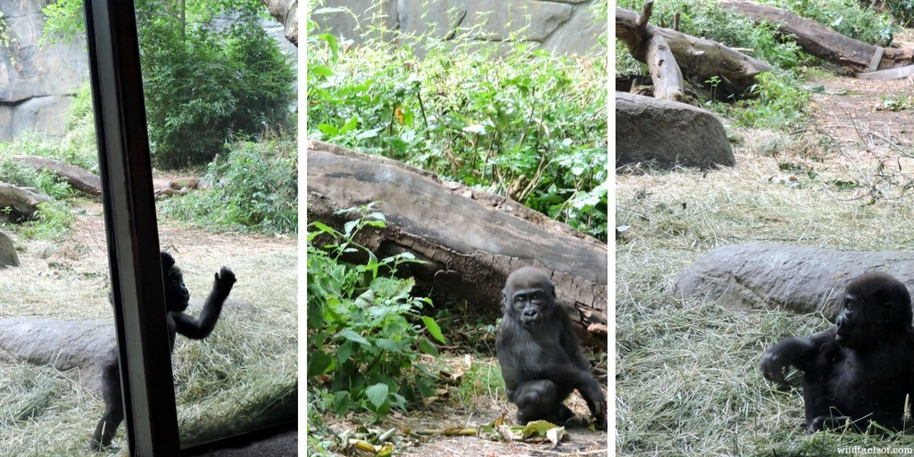 Yola, the Baby Gorilla at Woodland Park Zoo in Seattle | WildTalesof.com